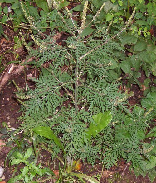 Ambrosia arthemisiifolia