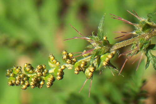 Ambrosia artemisiifolia, Detail