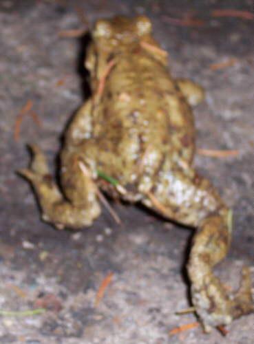 Erdkröten Mann