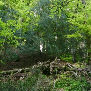Im Buchen-Eiben-Wald des Reservats Widum bleibt Totholz liegen, denn es ist für viele Pilze und Insekten lebenswichtig.