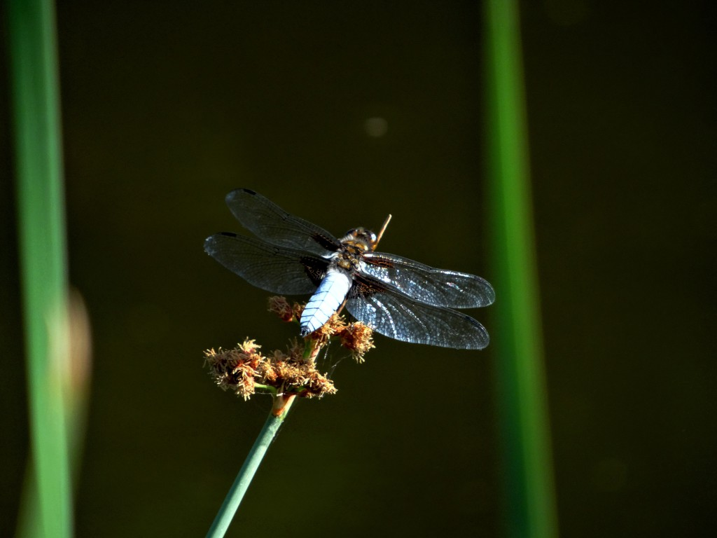 Plattbauch Libelle (Photo: Stefan Vogel)