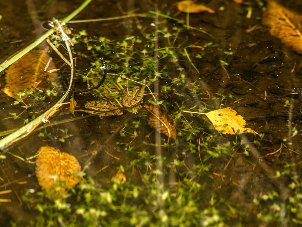 Frosch im Wasser (Photo: Reto Fürst)