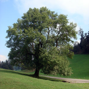 Feldbäume im Kulturland bieten dem Buntspecht Lebensraum (Foto: BirdLife Schweiz)