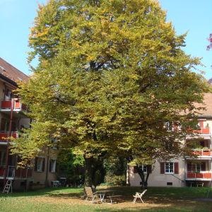BirdLife Schweiz fordert, dass im Siedlungsraum Räume für grosse, einheimische Bäume eingeplant werden (Foto: BirdLife Schweiz)