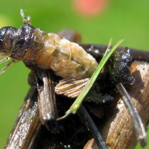 Köcherfliegenlarven sind ein Lecker-bissen für die Wasserspitzmaus. © Martin Fischer - Wikipedia