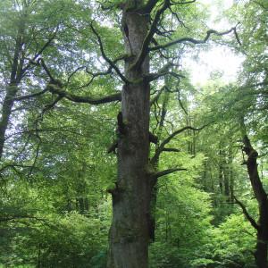 Waldbesitzer und Förster gehen mit der Erhaltung von Biotopbäumen mit gutem Beispiel voran (Foto: BirdLife Schweiz)