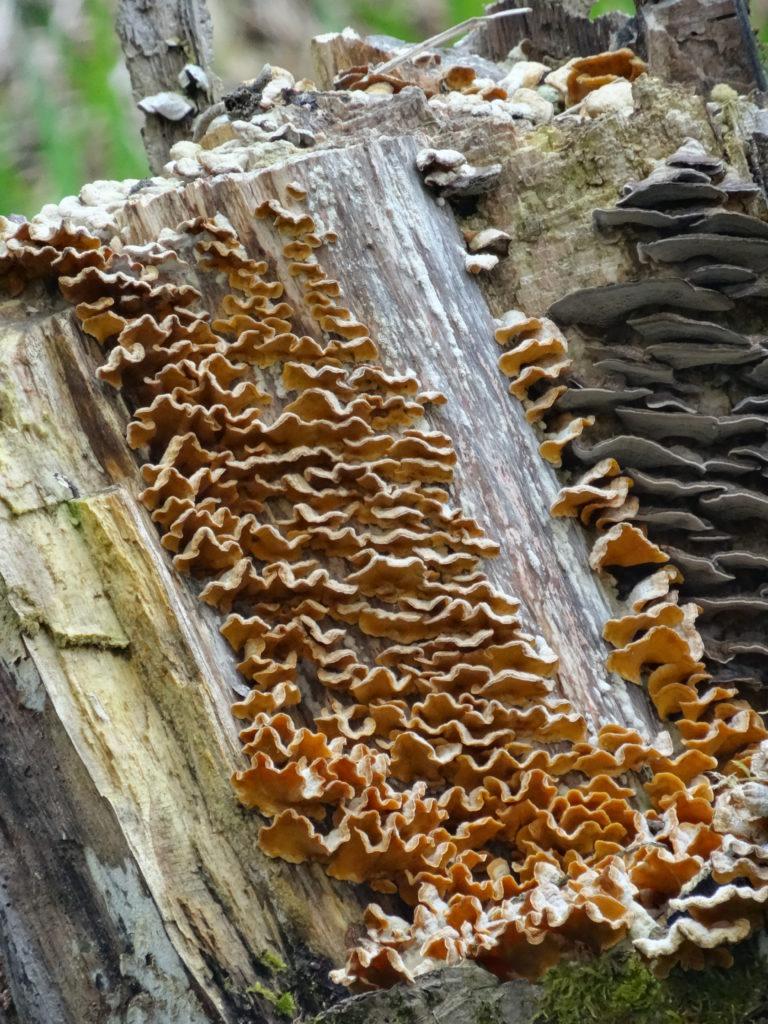 Seltsam geformte Baumpilze siedeln sich auf morschem Holz an und leben von ihm (Photo: Stefan Vogel)