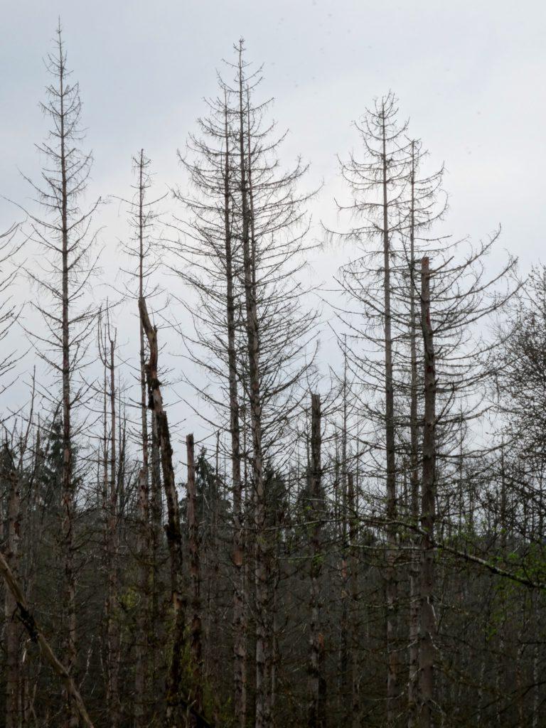 Sie stehen noch, sind aber schon tot: abgestorbene Fichten (Photo: Stefan Vogel)