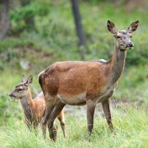 Fast eine Mutterfamilie – nur das letztjährige Jungtier fehlt noch. © Damian Zenzuenen (Pro Natura)