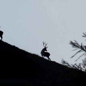 Bei der Brunft wird es laut – die scheuen Tiere röhren um die Wette. © Hans Lozza (Pro Natura)