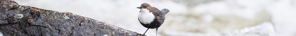 Wasseramsel (Foto: BirdLife Schweiz)