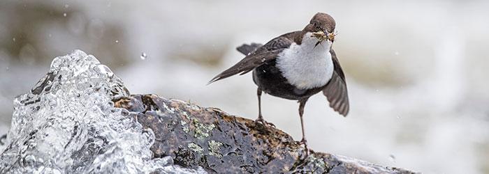 Bild: Michael Gerber (BirdLife Schweiz)