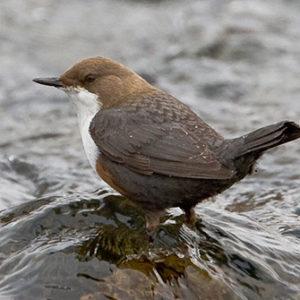 Die braune Wasseramsel erkennt man an ihrem weissen Brustlatz. Bild: Werner Scheuber (BirdLife Schweiz)