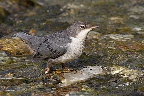Die junge Wasseramsel ist schiefergrau gefärbt, der weisse Brustfleck noch nicht ausgeprägt. Bild: Stefan Wassmer (BirdLife Schweiz)