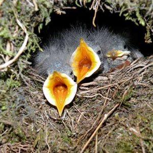 Die Küken kommen in einer Mooskugel zur Welt. Bild: Johann Hegelbach (BirdLife Schweiz)