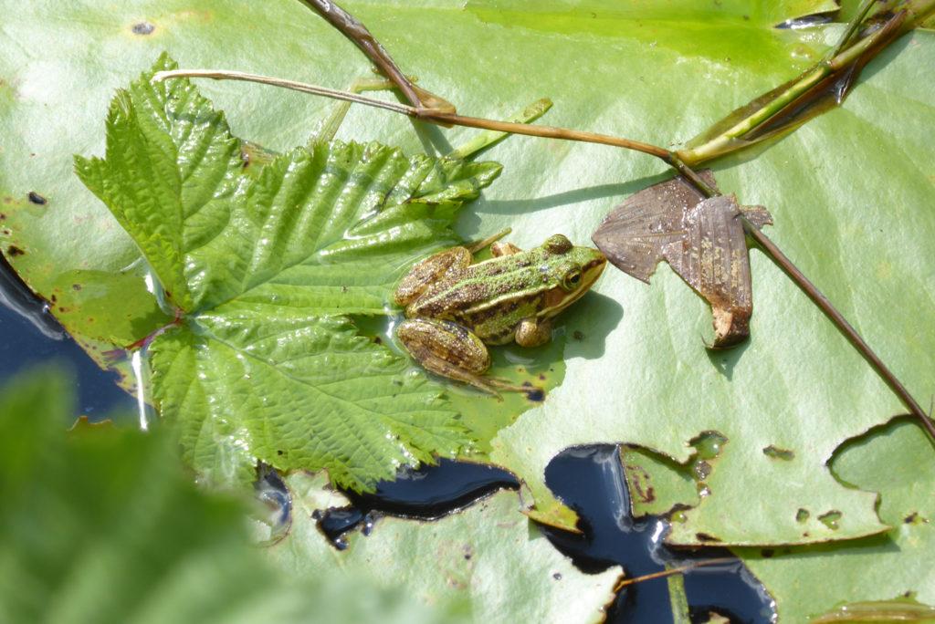 Einer von vielen Wasserfröschen, die sich in einem von Seerosenblättern bedeckten Tümpel sonnen. Photo: Beatrix Mühletaler