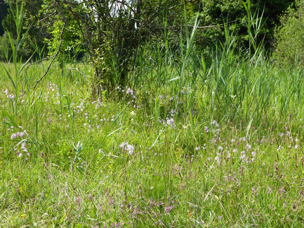 Die Prachtnelke, die auf wechselfeuchten Böden wächst, ziert die Riedwiesen. Photo: Beatrix Mühletaler