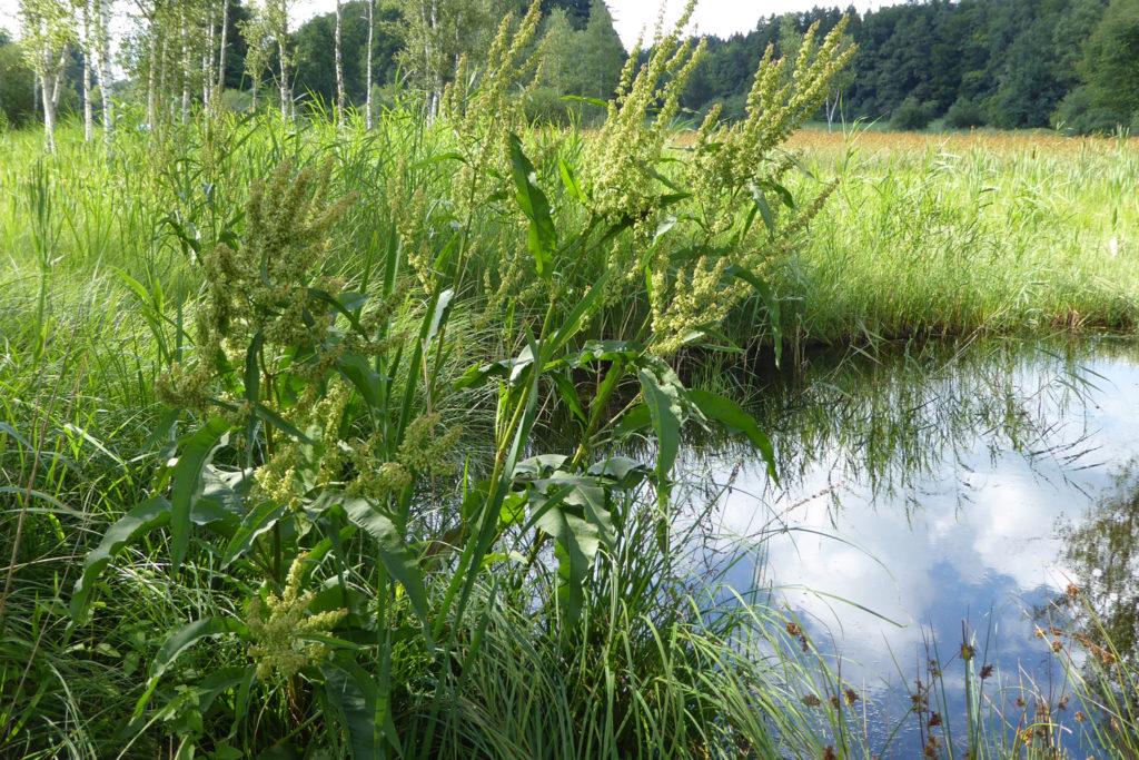 Wo die Wiedervernässung gefördert wird, kehren Pflanzen zurück, deren Samen jahrzehntelang im Boden schlummerten. Photo: Beatrix Mühletaler
