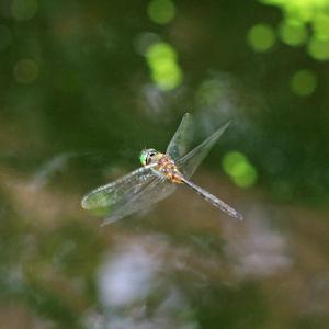 Smaragdlibelle