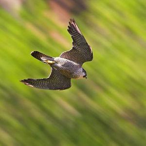 Wanderfalken zählen zu den schnellsten Tierarten. Bild: Mathias Schäf (BirdLife Schweiz)
