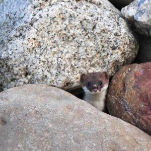 Ein Hermelin in sicherer Deckung © Adolf Durrer