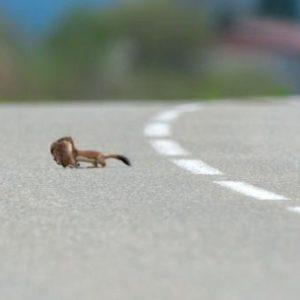 Ein Hermelin überquert nach erfolgreicher Jagd eine Strasse © Jean Malevez