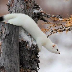 Im Winter trägt das Hermelin ein weisses Fell © iStock / Vershinin