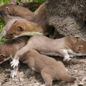 Eine Hermelin-Mutter mit Jungtieren © Iain H. Leach