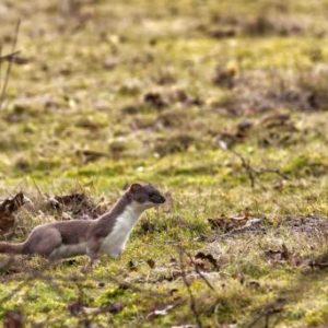 Hermeline bewegen sich meist im typischen «Mardersprung» vorwärts © Shutterstock / Smiler