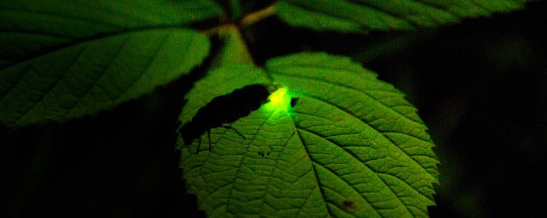 Leuchtendes Glühwürchen © Hans Niederhauser