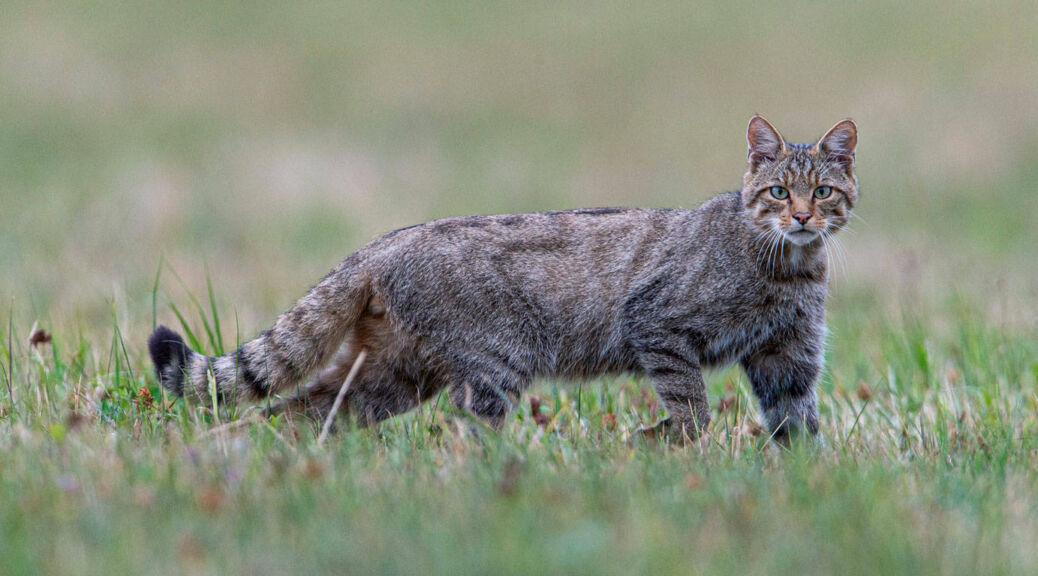 Wildkatze auf Wiese (© Fabrice Cahez)