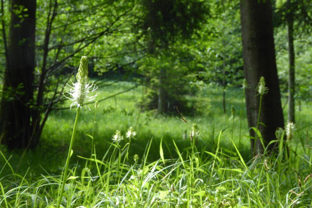 Ährige Rapunzel am Rand eines ausgelichteten Waldstücks mit Feuchtwiese