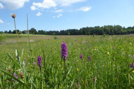 Früher Fettwiese, heute Lebensraum für Orchideen, andere Charakterpflanzen und -tiere.