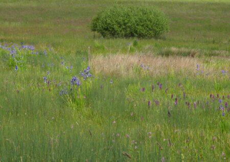 Neben den vielen Orchideen blüht zurzeit die Iris sibirica