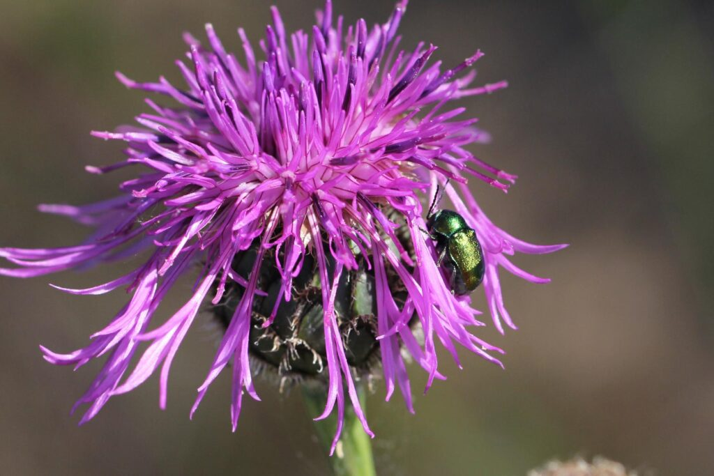 Skabiosen-Flockenblume mit Käferbesuch