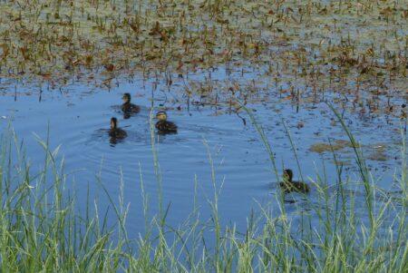Sogar in einem solch kleinen Gewässer lebt eine Entenfamilie