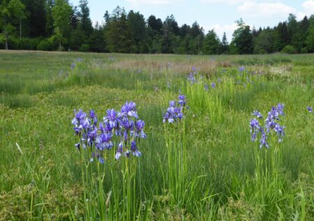 Vom Holzsteg aus ist die Iris in ihrer vollen Pracht aus nächster Nähe zu bewundern