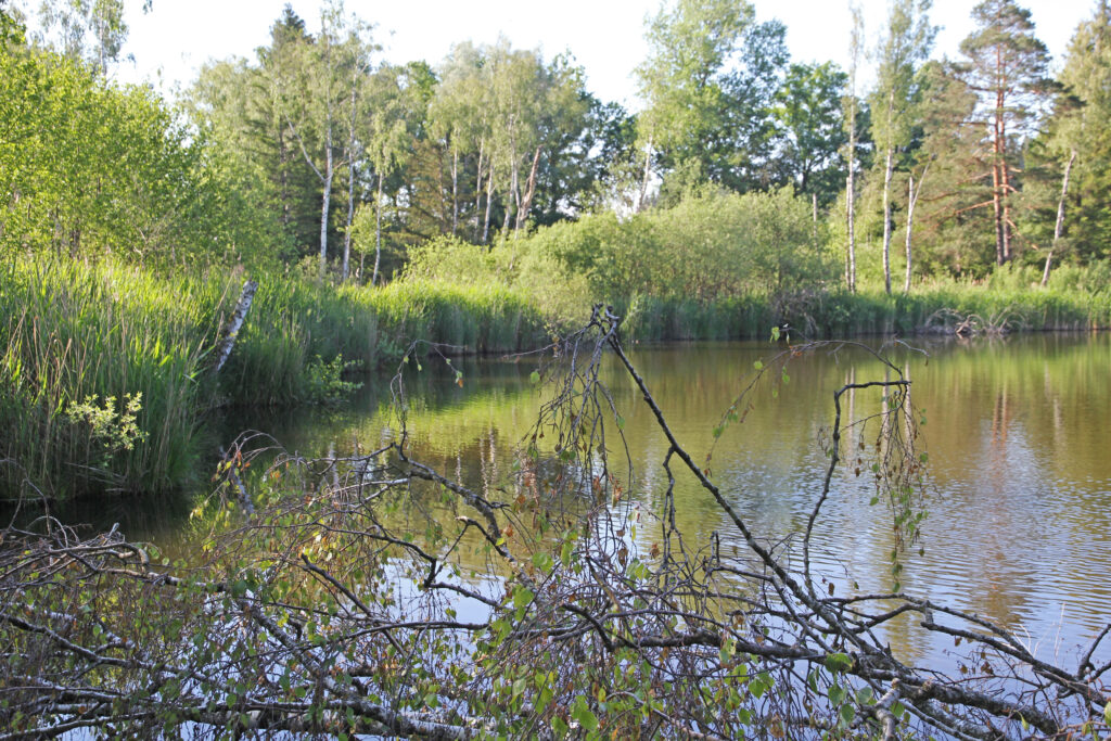 Im Wasser liegende Birke